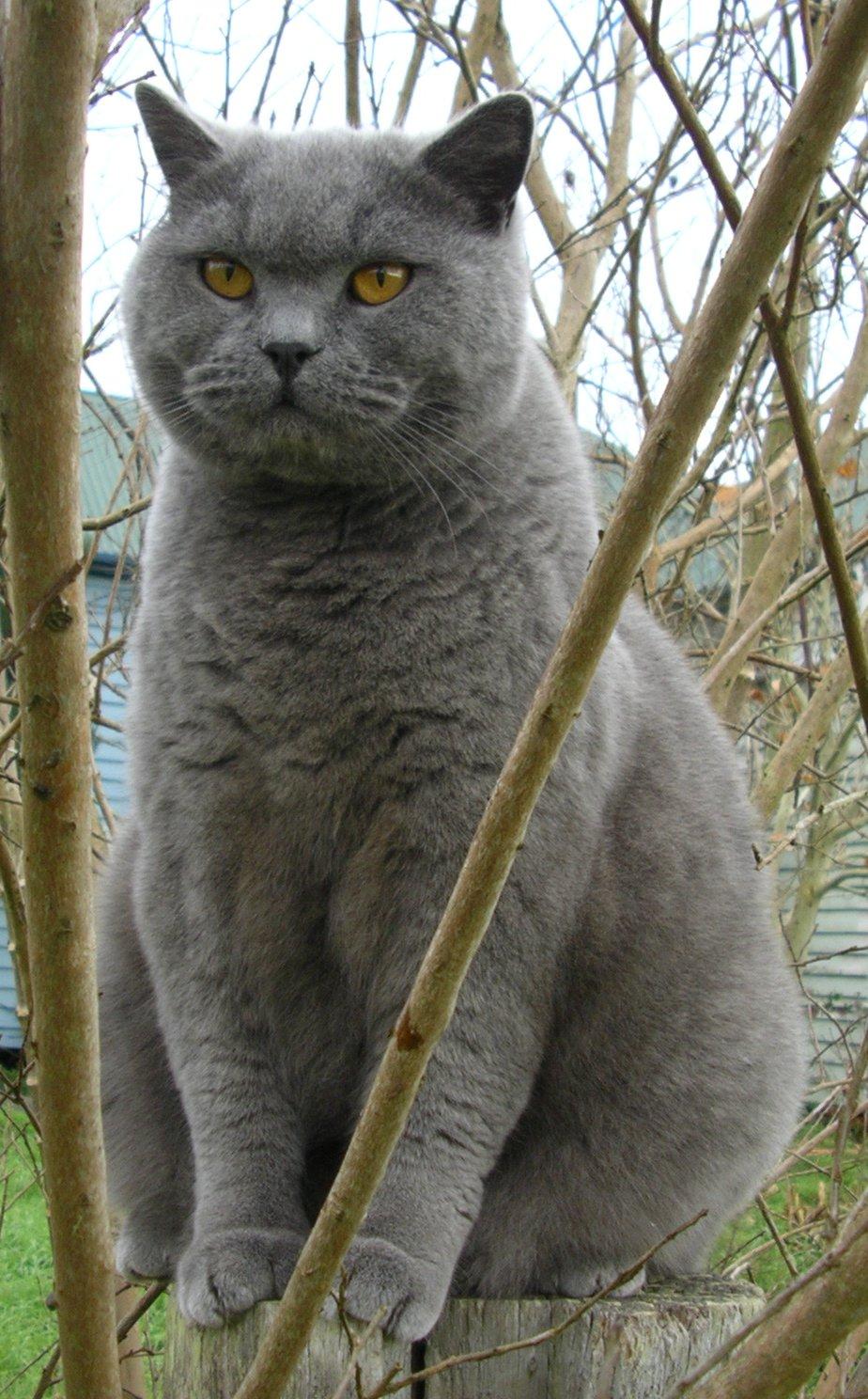 Британская короткошерстная кошка на природе фото