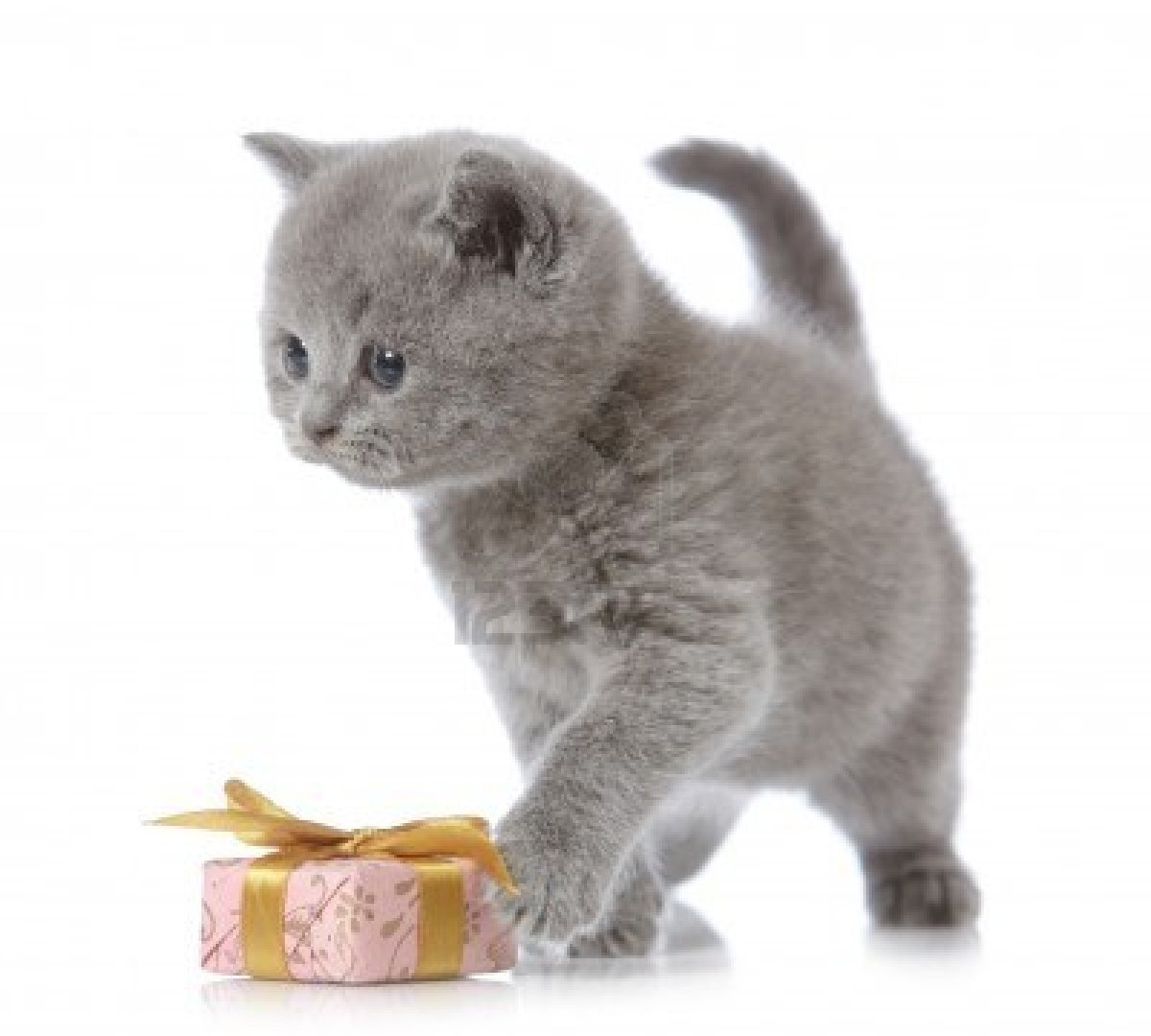 British Shorthair kitten photo and wallpaper Beautiful British