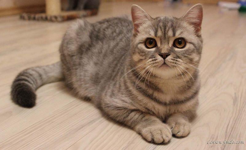 Британская короткошерстная кошка на полу фото