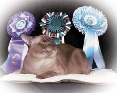 Кот породы Бурмис и награды фото