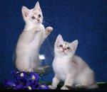 Burmilla kittens portrait