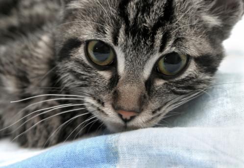 Морда Калифорнийской сияющей кошки фото