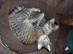 Котята Калифорнийской сияющей кошки