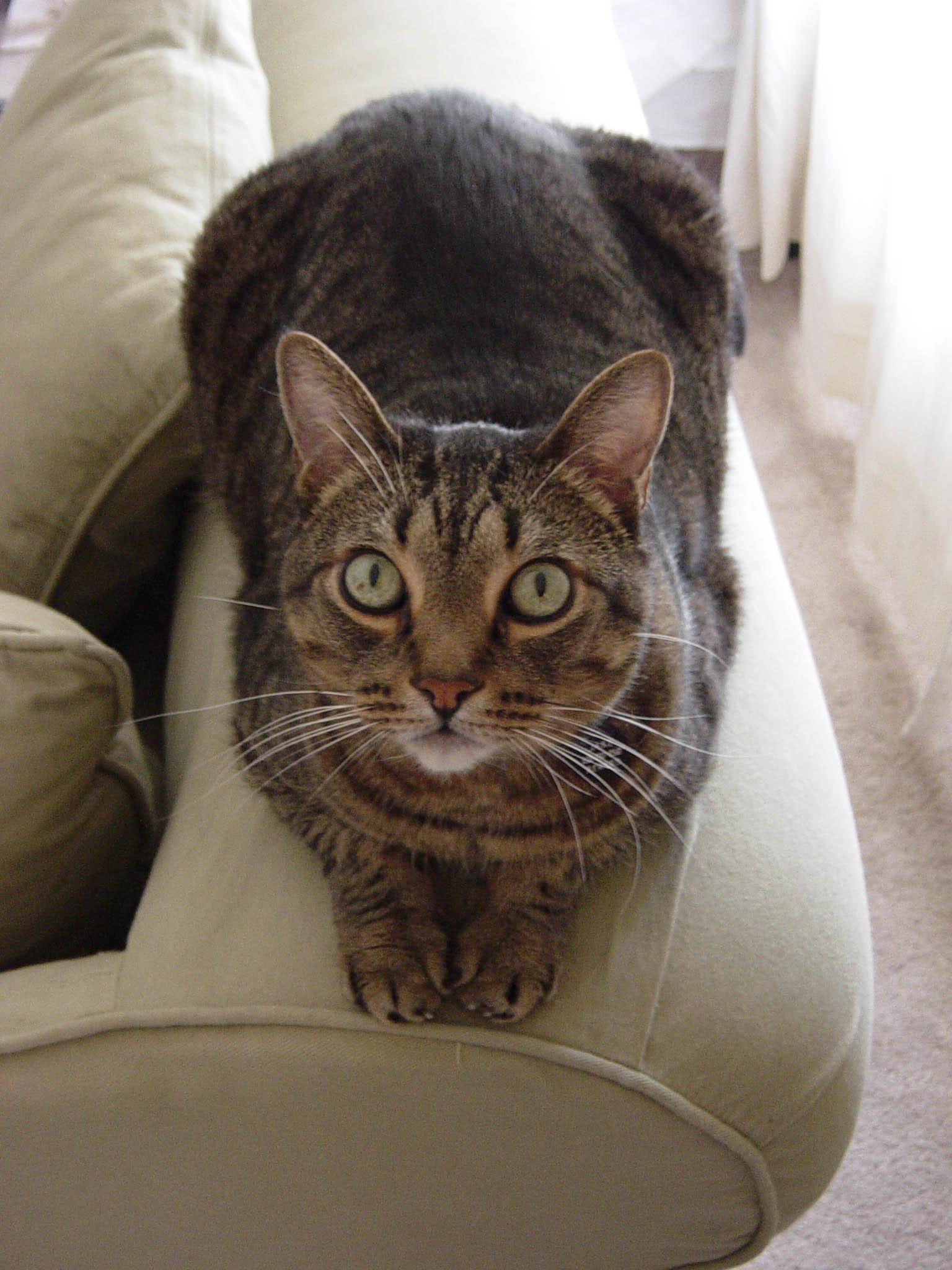 Калифорнийская сияющая кошка на диване фото