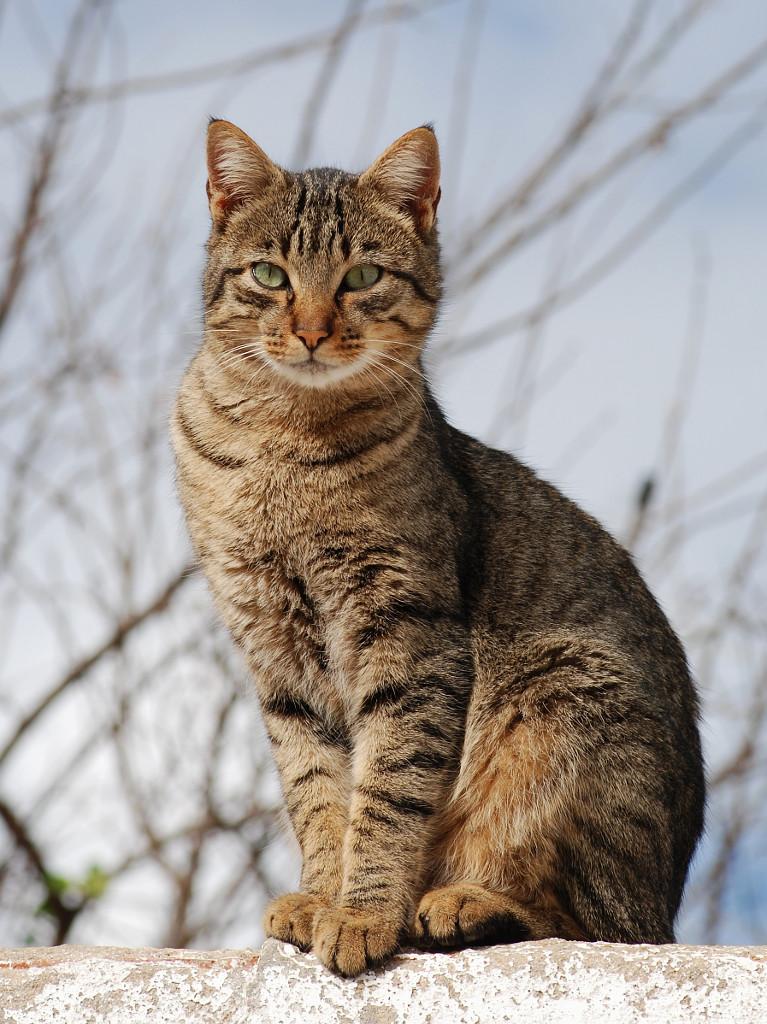 Калифорнийская сияющая кошка фото