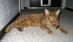 Калифорнийская сияющая кошка отдыхает