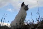 Очаровательная Балинезийская кошка