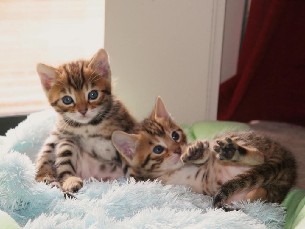 Очаровательные котята Бенгальской кошки фото