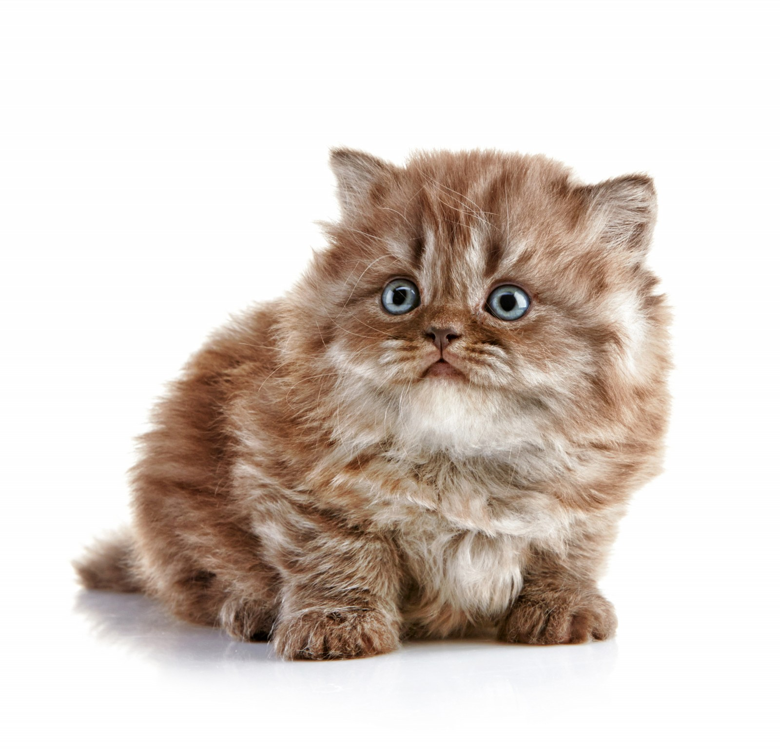 Очаровательный котенок Британской длинношерстной кошки фото