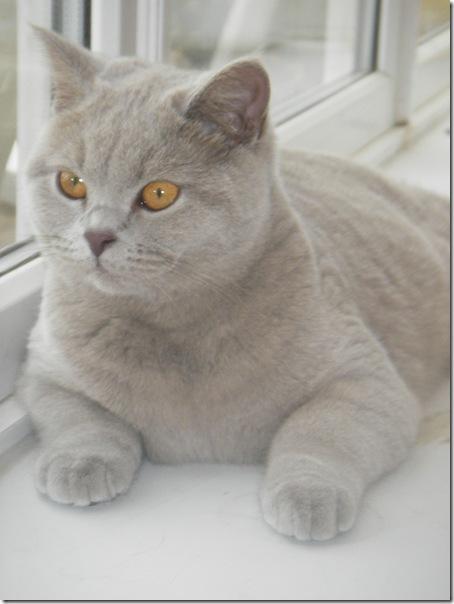 Очаровательная Британская короткошерстная кошка фото