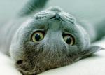 Очаровательный кот Корат