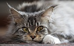 Charming Maine Coon face