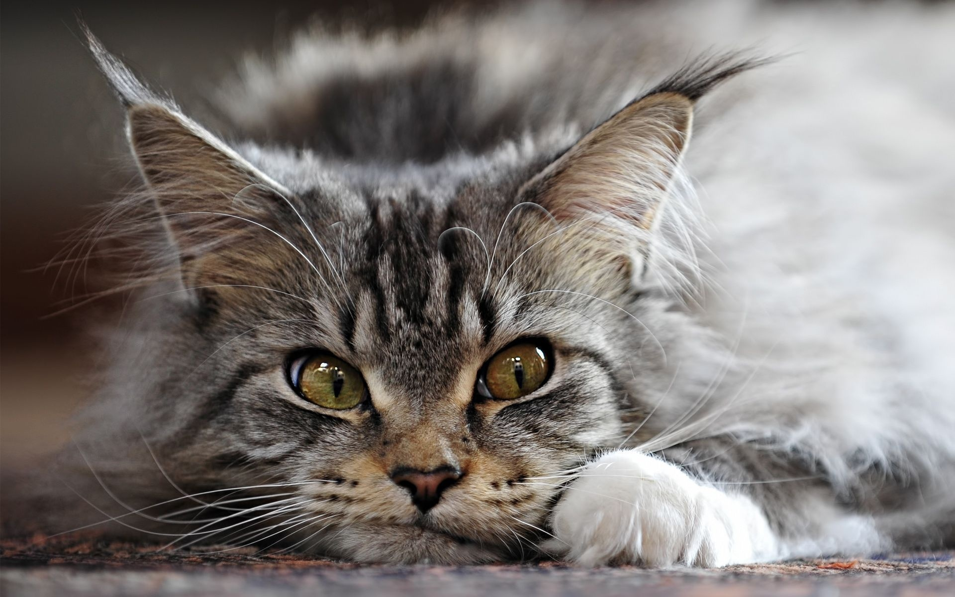 Charming Maine Coon face wallpaper