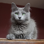 Charming Nebelung