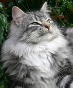 Charming Norwegian Forest Cat face