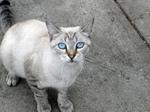 Очаровательный кот породы Охос Азулес