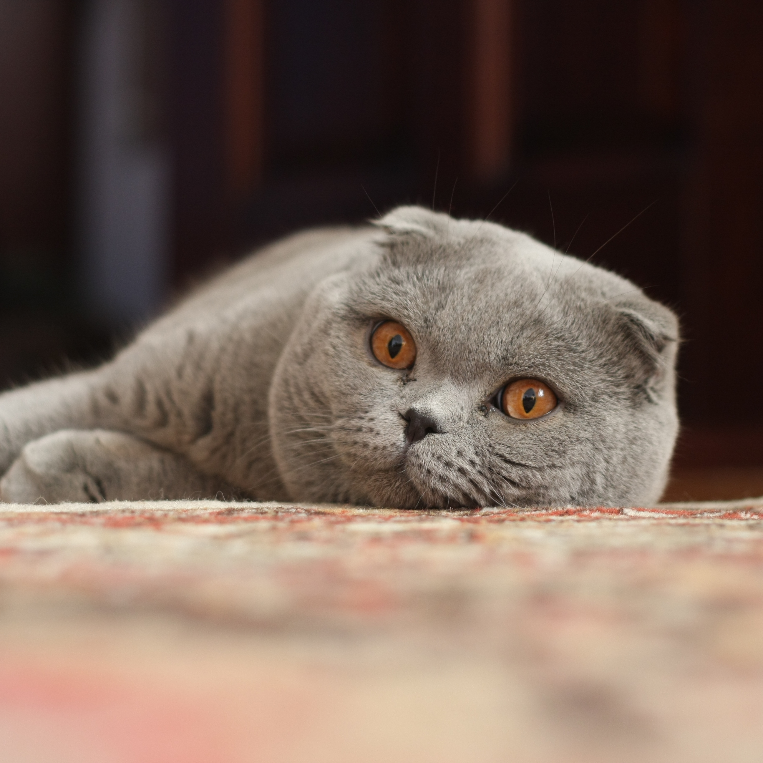 Charming Scottish Fold  wallpaper