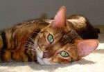 Charming Toyger cat