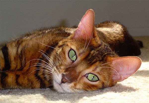 Очаровательный кот Тойгер фото