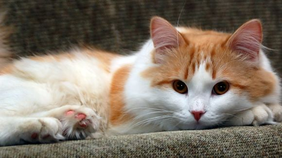 Charming Turkish Van wallpaper