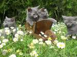 Chartreux cats and daisies