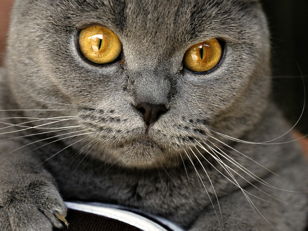 Chartreux face wallpaper