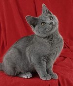 Chartreux kitten red background