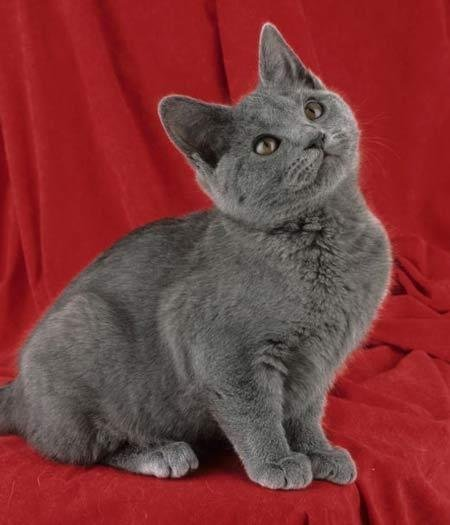 Котенок Шартреза на красном фоне фото