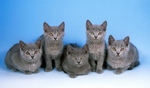 Chartreux kittens blue background
