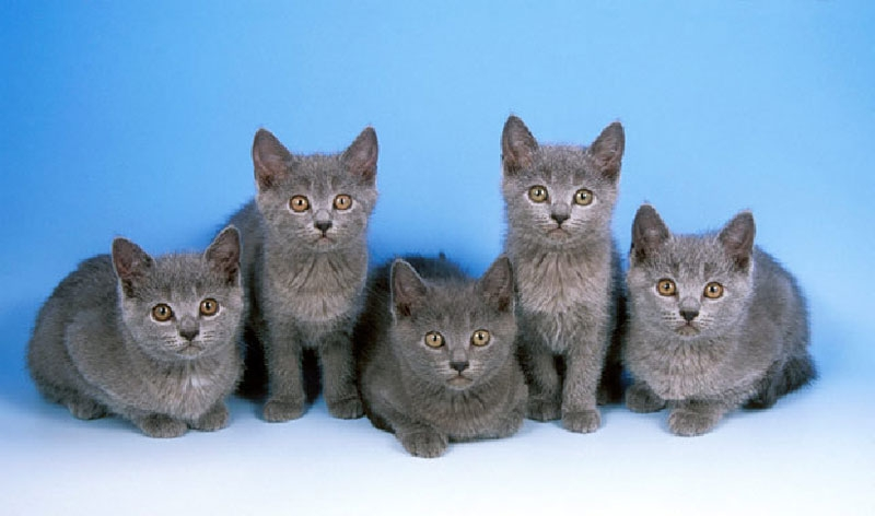 Chartreux kittens blue background wallpaper