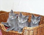 Chartreux kittens in a basket
