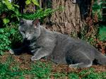 Chartreux near a tree