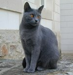 Chartreux near the house