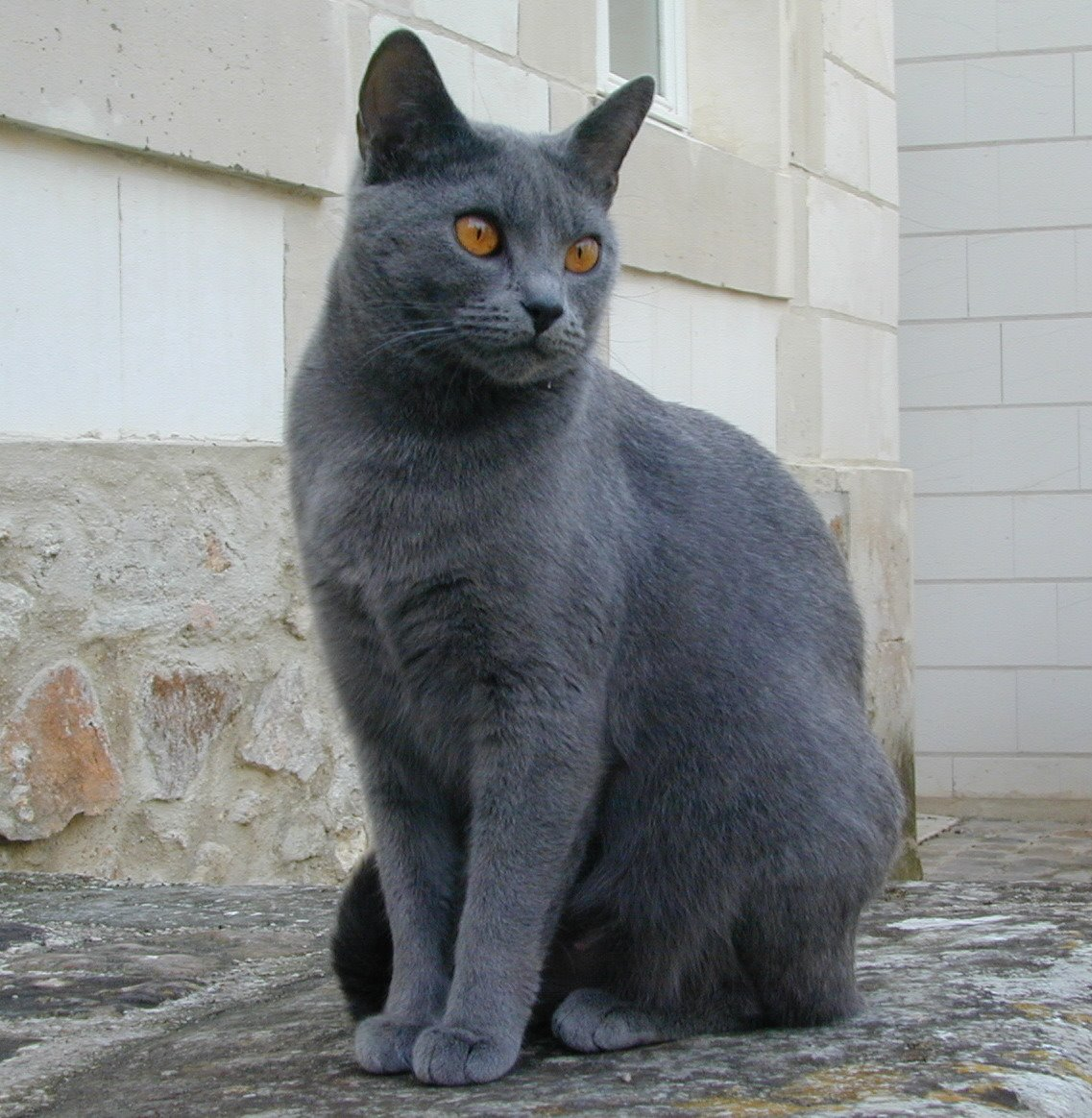 Chartreux near the house wallpaper