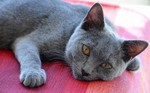Chartreux on a floor