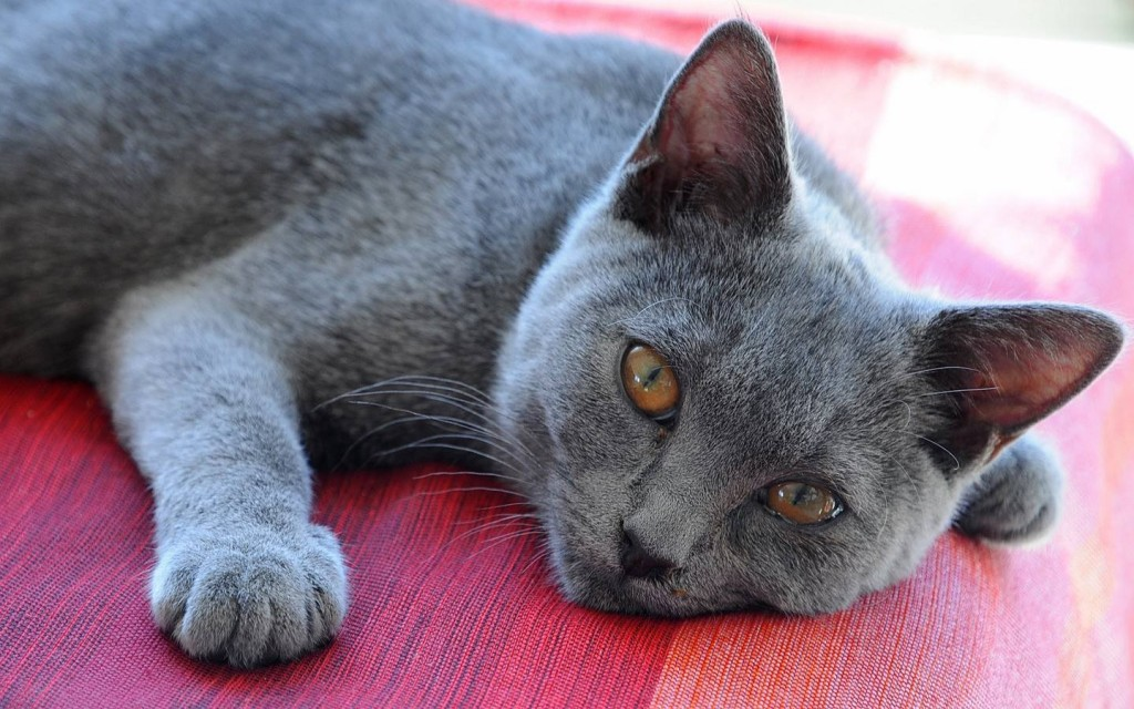 Chartreux on a floor wallpaper