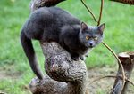 Chartreux sitting tree
