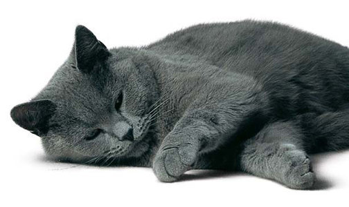Chartreux sleeping wallpaper