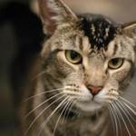 Морда кошки породы Чаузи