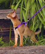 Chausie for a walk