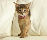 Chausie kitten on the couch