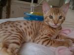 Котенок породы Чито лежит