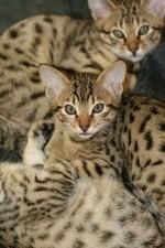 Cheetoh kittens