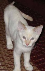 Colorpoint Shorthair kitten