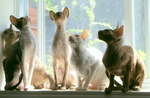 Cornish Rex cats near the window