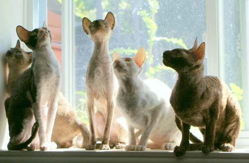 Cornish Rex cats near the window wallpaper