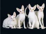 Коты породы Корниш-рекс
