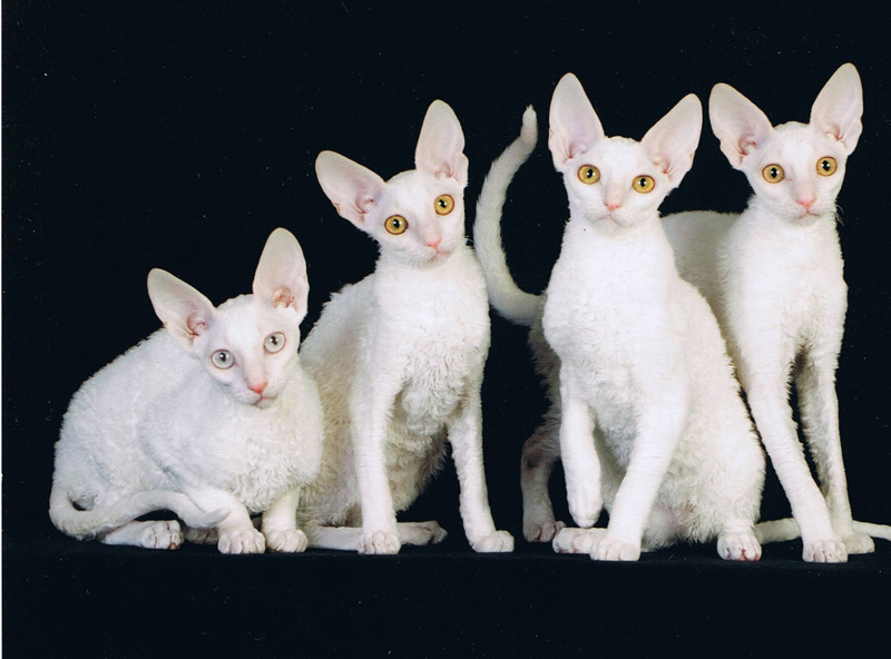 Cornish Rex cats wallpaper