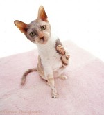 Cornish Rex kitten playing