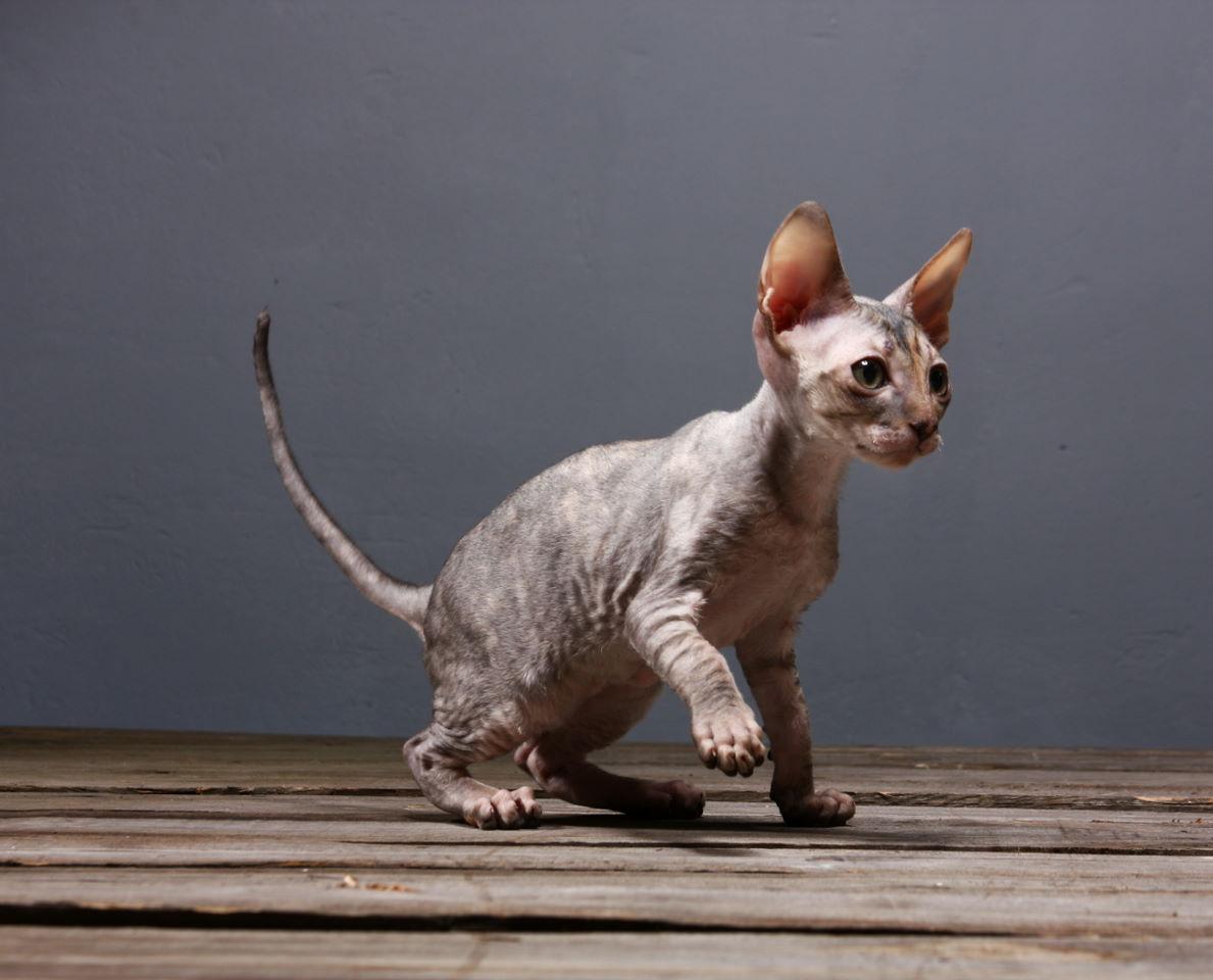 Cornish Rex kitten walking wallpaper